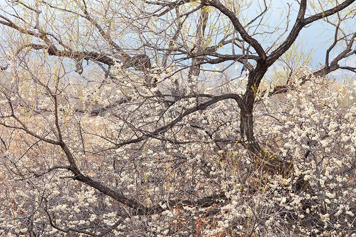 Bobolink Cottonwods in Spring