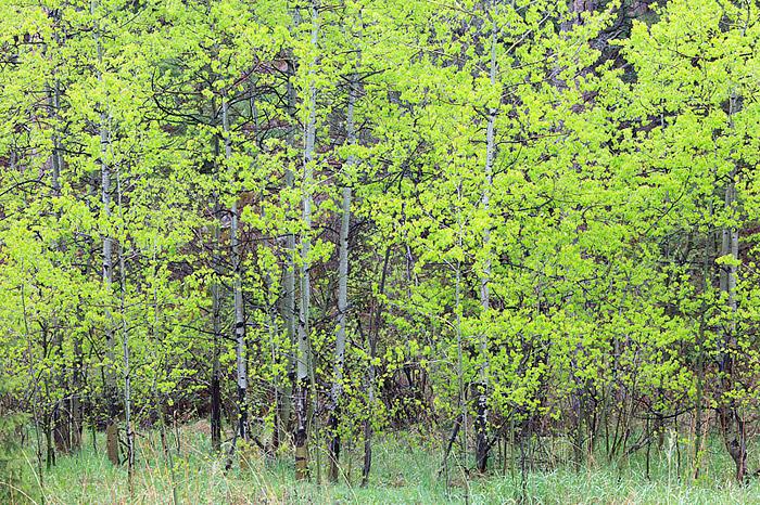 Aspens in Spring, Green Mountain