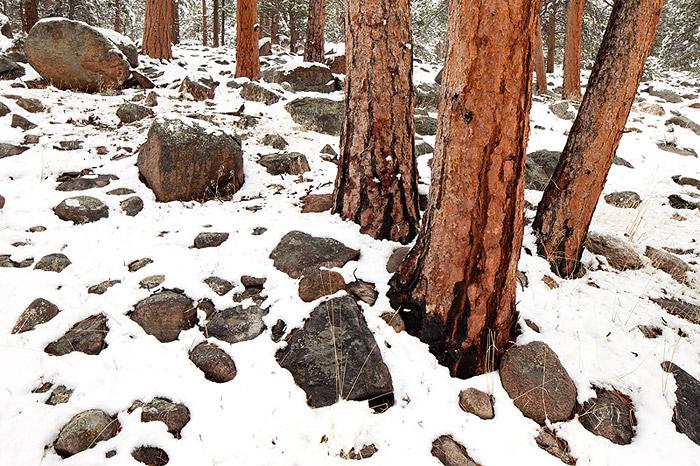 Moraine Park Ponderosa Pines after a fresh snow
