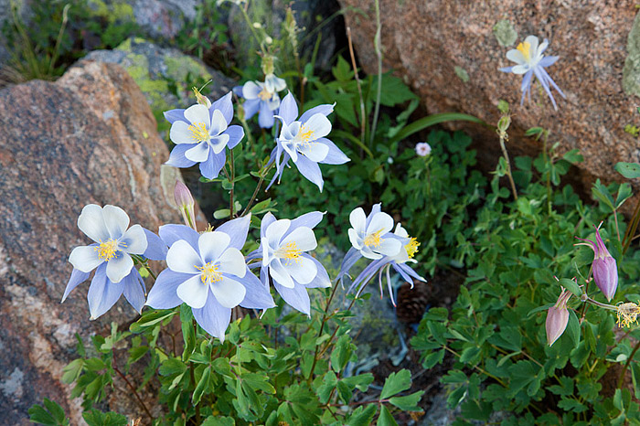 Rocky Mountain National Park Columbines