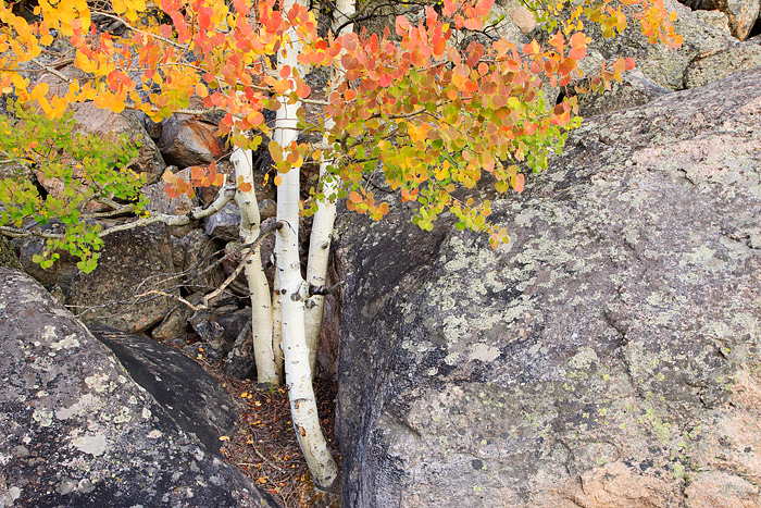 Aspen trees along Bear Lake Road display their red and yellow colors