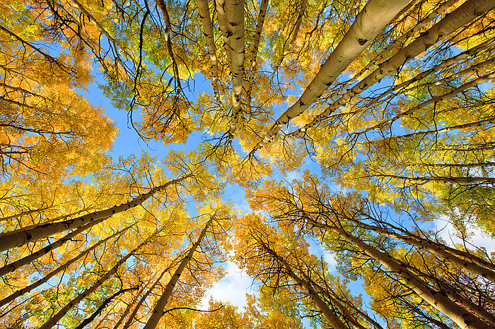 Fall Aspens in Rocky Mountain National Park