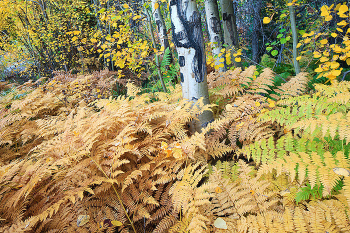 Aspen trees and ferns display their fall colors