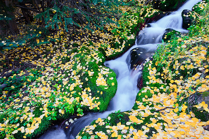 Boulder Brook winds through fall aspen leaves in Rocky Mountain National Park