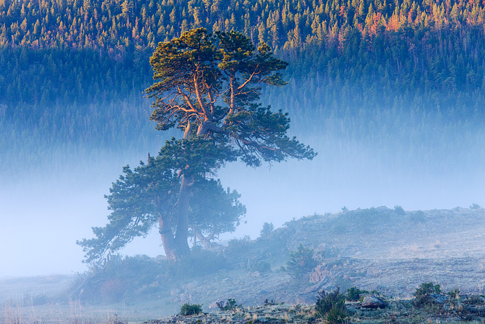 A beautiful Ponderosa Pine stands watch over historic Morane Park in Rocky Mountain National Park