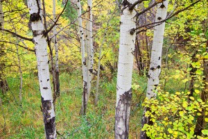 Open Space,OSMP, Autumn,Aspen,Fall,Boulder,Colorado