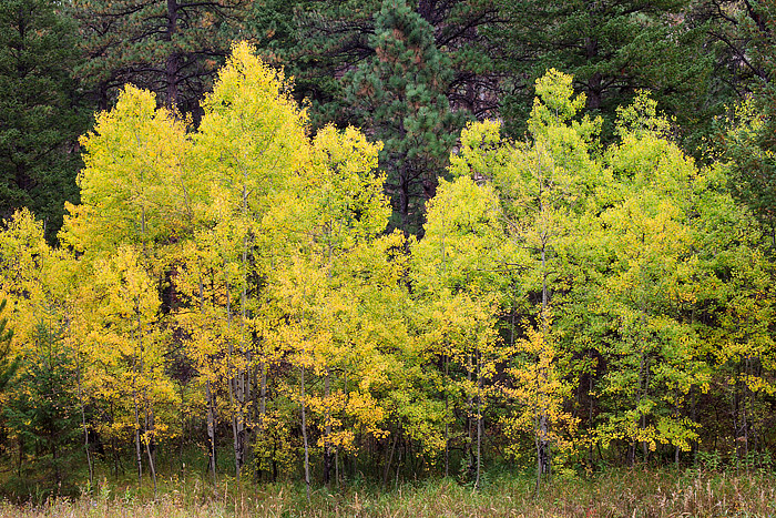 Golden Aspens in Boulder, Colorado, Open Space,Fall