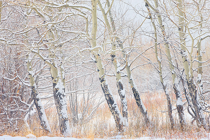 Snow falls hard on the willows and aspen boles of Horseshoe Park. These are some my favorite conditons to photograph Rocky Mountain National Park. The possibilities are endless for photography on days like these. Technicial Details: Canon Eos 1Ds III, 70-300mm F4-5.6 L