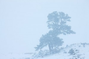 A lone ponderosa pine weathers the near whiteout conditions in Moraine Park. Technicial Details: Canon EOS 1Ds III, 70-300mm F4-5.6 L