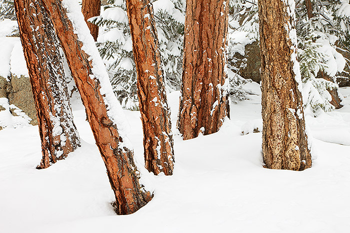 Fresh snow is falling on the red hued trunks of Ponderosa Pine tree's on top of Lumpy Ridge in Rocky Mountain National Park. It took me a few miles of hiking until I finally found a compositions that was clean and lacked distractions. Tree photography is rewarding but it can be difficult to convey the beauty if a few simple rules are not followed. Technical Detail: Canon EOS 1Ds III, 24-105mm F4 IS