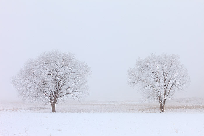 It does not get anymore exciting than this for me. I love photographing when the weather is overcast, foggy or snowing. Hoarfrost is one of my favorite conditions to photograph the landscape in, but it is also very rare. I was lucky enough to be able to capitalize on just such conditions over Boulder this week. These two trees were covered with hoarfrost when I photographed them in the marshy wetlands just east of the Bobolink trailhead. Technical Details: Canon EOS 5D Mark II, 70-200 F4 IS L