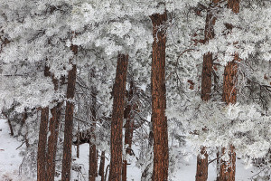 Another of my favorite go to locations in and around Boulder is Flagstaff Mountain. This grove of Ponderosa Pines perched on top of Flagstaff Mountain are a favorite subject of mine, especially when frosted over. Technical Details: Canon EOS 5D Mark II, 24-105mm F4 IS L