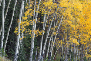 The aspens on the west side of RMNP were past peak as of last Saturday. I would expect most trees to be well past peak on the west side at this point in time. Technical Details: Canon EOS 5D Mark III, 100-400mm F4-5.6 IS L