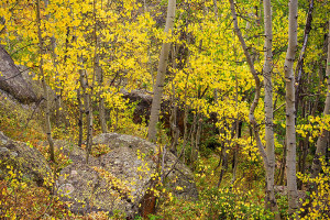 On the hike out of Ouzel Lake I was able to find quite a bit of fall color in the forests of Wild Basin like this group of aspen trees. Technical Details: Nikon D810, Nikkor 24-120mm F4 VR ED lens