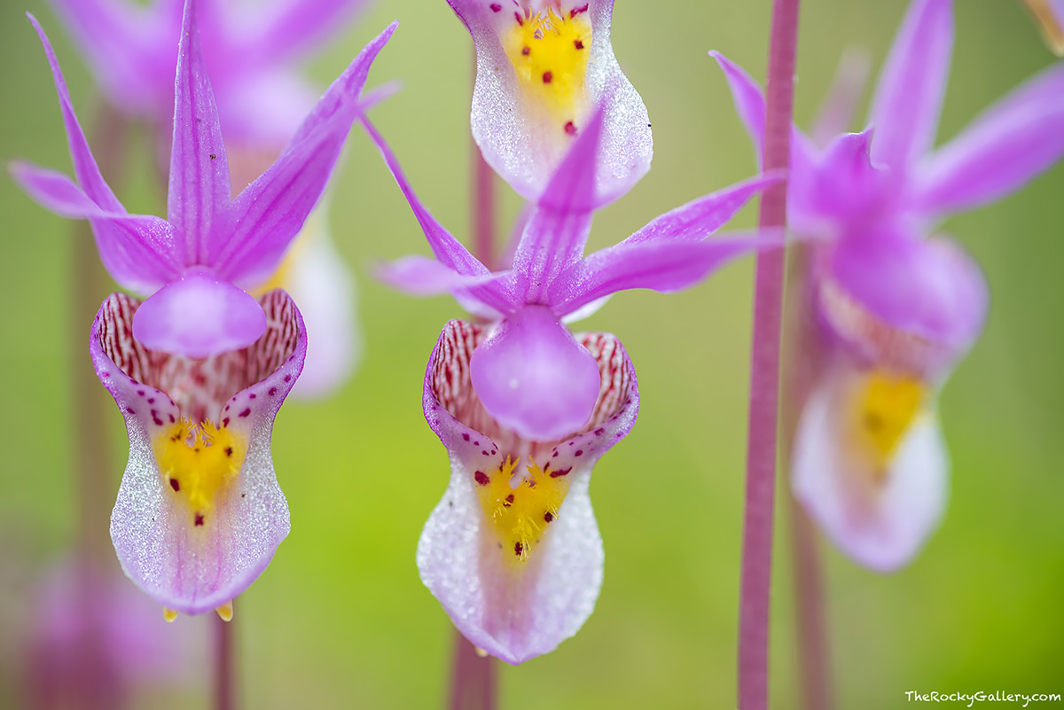 While there was still a fair amount of snow to be found in some of the trees, the wildflowers are starting to put on quite a show on the west side of Rocky. Calypso Orchids could be found in the lower elevations. These tiny wildflowers are small but stunning. Technical Details: Nikon D810, Nikkor 105mm micro AF
