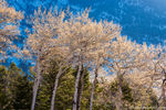 Catkins,Spring,Aspens,Beaver Mountain,Upper Beaver Meadows,April,RMNP,Colorado,Rocky Mountain National Park,Landscape,Photography,Estes Park