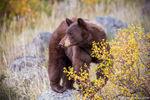 Black Bear,Horseshoe Park,RMNP,Fall River Road,Trail Ridge Road,Sheep Lakes,Fall,Autumn,September,Wildlife,Photography,Estes Park,Colorado,Rocky Mountain National Park,cinnamon