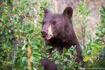 Black Bear,RMNP,Wildlife,Photography,Chokecherry,Horseshoe Park,Fall,Autumn,Cinnamon,Colorado,Rocky Mountain National Park,Trail Ridge Road,Estes Park