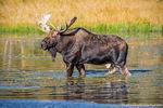 Moose,Bull,Wildlife,Photography,Sprague Lake,RMNP,Colorado,Rocky Mountain National Park,Autumn,Fall,September,Estes Park,Bear Lake Road