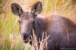 Moose,Calf,East Inlet,RMNP,Grand Lake,September,Wildlife,Colorado,Rocky Mountain National Park,baby,West Side,photography,mammals