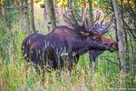 Lily Lake,Tahosa Valley, Highway 7, RMNP,Colorado,Rocky Mountain National Park,Estes Park,August,Moose,Bull,Wildlife,Photography,Summer,Eating,Aspen