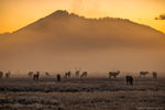 Elk,Rut,Moraine Park,Bear Lake Road,Sunrise,September,Fall,Fog,Estes Park,Colorado,RMNP,Rocky Mountain National Park,Landscape,Photography,Wildlife,bugle