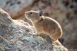 Pika,Tombstone Ridge,Alpine,Tundra,Wildlife,Photography,Estes Park,Colorado,RMNP,Rocky Mountain National Park