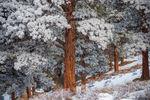 Ponderosa Pine,February,Frost,Snow,Winter,Deer Mountain,RMNP,Colorado,Rocky Mountain National Park,Estes Park,Landscape,Photography,hoar frost