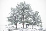 Moraine Park,May,snow,Estes Park,RMNP,Colorado,Rocky Mountain National Park,Landscape,Photography,Bear Lake Road,Landscape,Photography,pines,trees,ponderosa pines