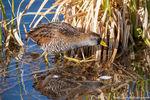 Sora,Bird,Wildlife,photography,Lily Lake,May,RMNP,Highway 7,Tahosa Valley,Estes Park