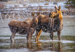 Moose,Mother,Calf,Sprague Lake,April,snowstorm,cold,Bear Lake Road,Estes Park,Colorado,Rocky Mountain National Park,RMNP,Wildlife,Photography