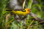 Bierstadt Moraine,Western Tanager,Bird,Avian,Wildlife,Photography,Birding,Bear Lake Road,Estes Park,RMNP,Rocky Mountain National Park, July
