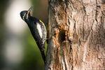 Williamson Sapsucker,Upper Beaver Meadows,RMNP,Estes Park,Avian,Photography,Wildlife,Woodpecker,Colorado,Rocky Mountain National Park,East Side,Birds,Upper Beaver Meadows