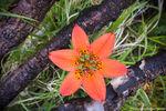 Wood Lily,Cub Lake,Moraine Park,RMNP,Wildflowers,July,Rare,Landscape,Photography,Estes Park,Bear Lake Road,Rocky Mountain National Park,Colorado,flowers