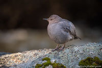 Ouzel,American Dipper,Avian,Saint Vrain,Copeland Falls,Wild Basin,Estes Park,Allenspark,RMNP,Photography,Wildlife,Rocky Mountain National Park,Birds,Colorado,streams