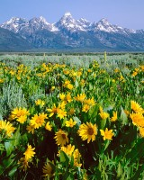 Grand Tetons, Jackson Hole, Wildflowers, Rocky Mountains, Antelope Flats, National Park