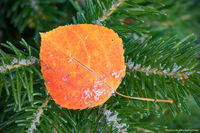 RMNP,Landscape,Macro,Aspen,Fall,Autumn,Hidden Valley,Trail Ridge Road,Estes Park,Colorado,Rocky Mountain National Park,leaf,pine,snow,seasons