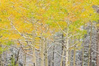 Rocky Mountain National Park, Colorado, Bear Lake, Road, Aspens, fall, Snow,Bear Lake