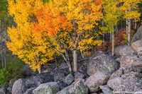 Bear Lake Road,Aspens,Fall,September,Landscape,Photography,Estes Park,RMNP,Rocky Mountain National Park,Colorado,Trees,Fall Color