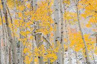 Aspens,Fall,Snow,Yellow,Autumn,Bierstadt Moraine,Bear Lake Road,Estes Park,Trailhead,RMNP,Rocky Mountain National Park,Colorado,Landscape,Photography,October