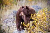 Black Bear,Horseshoe Park,RMNP,Fall River Road,Trail Ridge Road,Sheep Lakes,Fall,Autumn,September,Wildlife,Photography,Estes Park,Colorado,Rocky Mountain National Park,cinnamon
