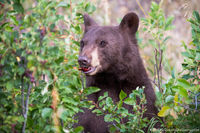 Black Bear,RMNP,Wildlife,Photography,Chokecherry,Horseshoe Park,Fall,Autumn,Cinnamon,Colorado,Rocky Mountain National Park,Trail Ridge Road,Estes Park