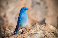 Mountain Bluebird,Avian,Photography,Wildlife,Moraine Park,Estes Park,Rocky Mountain National Park,Colorado,February,RMNP