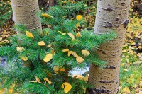 Rocky Mountain National Park,Colorado,Aspen,fall,autumn,boulder brook,forest,pine,golden