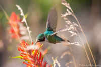 Indian Paintbrush,Cub Lake,Broad-tailed Hummingbird,Wildlife,Avian,RMNP,Estes Park,Colorado,Rocky Mountain National Park,July,Summer,wildflower,wildlife,photography