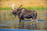 Moose,Bull,Wildlife,Photography,Sprague Lake,RMNP,Colorado,Rocky Mountain National Park,Autumn,Fall,September,Estes Park,Bear Lake Road