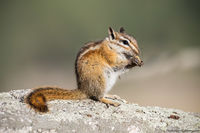 Chipmunk,eating,Moraine Park,September,Fall,Food,Estes Park,Colorado,Wildlife,Photography,RMNP,Rocky Mountain National Park,Bear Lake Road