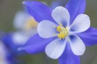 Columbines,Estes Park,Comanche Peak Wilderness Area,Wildflowers,Rocky Mountain National Park,Colorado