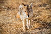 Coyote,Moraine Park,RMNP,Bear Lake Road,Estes Park,Colorado,Rocky Mountain National Park,Wildlife,Photography,March