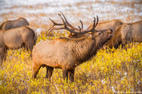 Elk,Rut,October,Bear Lake Road,Moraine Park,Snow,Autumn,Fall,Wildlife,Photography,Estes Park,Sunrise,Bull,RMNP,Colorado,Rocky Mountain National Park,bugling